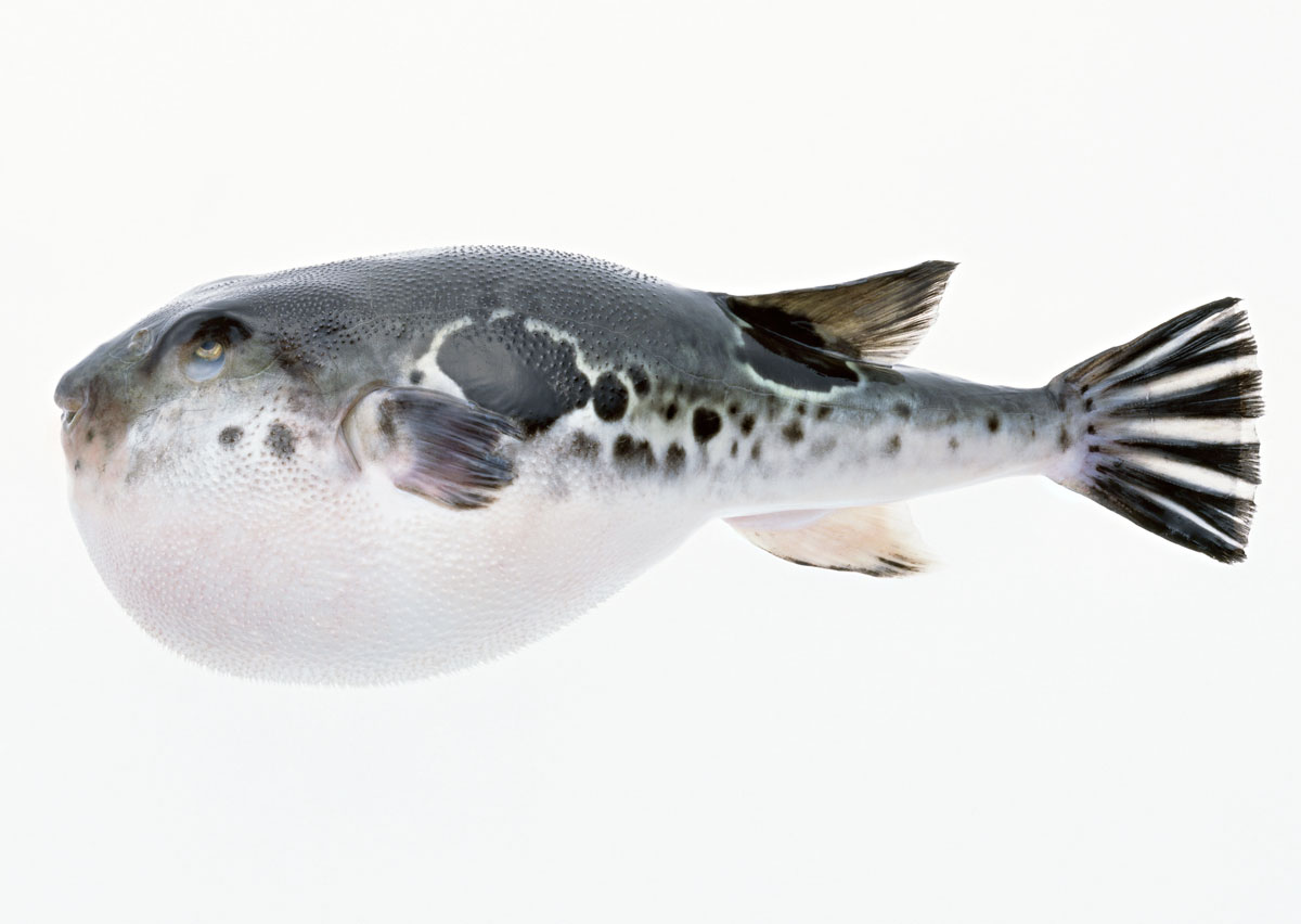 Fugu are you a pig justhungry for Japanese puffer fish